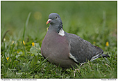 Wood Pigeon - Wood Pigeon On A Meadow