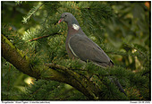 Wood Pigeon - Woodpigeon