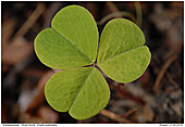 Wood Sorrel - Wood Sorrel