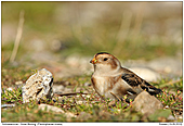 Snow Bunting - Snow Bunting Searching For Food