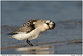 Sanderling - Shake your head