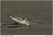 Sanderling - Sanderling at the beach