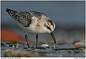 Sanderling - Sanderling searching worms