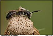 Andrena vaga - Andrena vaga