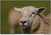 Sheep - Sheep - Portrait