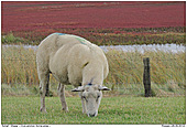 Sheep - Sheep in front of Common glasswort