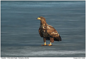 White-tailed Eagle - White-tailed Eagle