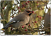 Waxwing - 2004 - Year of the Waxwings