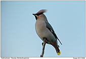Waxwing - Like little Punx