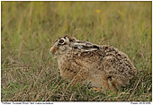 Brown Hare - Brown Hare