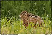 Brown Hare - European Brown Hare