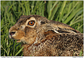 Brown Hare - Brown Hare - Portrait