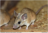 Eastern Spiny Mouse - Eastern Spiny Mouse