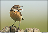 Stonechat - Female Calling Stonechat