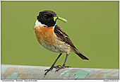 Stonechat - Stonechat With Two Caterpillars