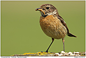 Stonechat - Stonechat with larvae
