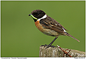 Stonechat - Stonechat With Caterpillar