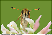 Essex Skipper - Portrait of Essex Skipper