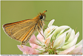 Essex Skipper - Essex Skipper
