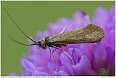 Nemophora metallica - Nemophora metallica