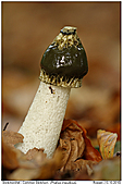 Common Stinkhorn - Comon Stinkhorn With Ant