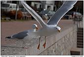 Herring Gulls - Herring Gull