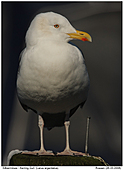 Herring Gull - Herring Gull