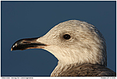 Herring Gull - Herring Gull - Portrait