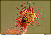 Common Sundew - Eating Sundew :-)