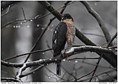 Sparrowhawk - Male Sparrowhawk