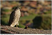 Sparrowhawk - Sparrowhawk