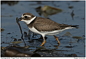 Ringed Plover - Ringed Plover with Worm