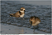 Ringed Plover - Bathing Ringed Plover