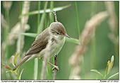 Marsh Warbler - Marsh Warbler