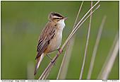 Sedge Warbler - Sedge Warbler