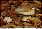 Summer King Bolete - Summer King Bolete