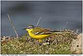 Blue-headed Wagtail - Blue-headed Wagtail