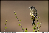 Male Western Yellow Wagtail - Western Yellow Wagtail