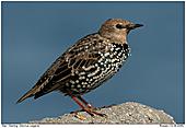 Starling - Starling