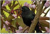 European Starling - European Starling