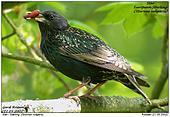 European Starling - A chrysalis