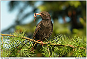 European Starling - European Starling With Worm