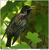 European Starling - Songs for the chicks