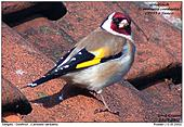 European Goldfinch - Colourful