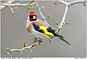 European Goldfinch - European Goldfinch