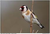 European Goldfinch - European Goldfinch