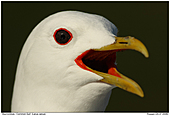 Common Gull - Common Gull