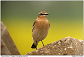 Wheatear - Curious
