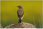 Wheatear - Female Wheatear