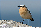 Wheatear - Male Wheatear